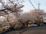 花大和前の桜