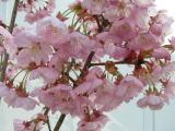夢創館ポケットパークの桜