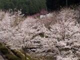 上子島砂防公園の桜