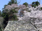 高取城の桜