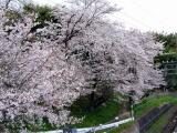 壺阪山駅横の桜