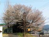 高取町庁舎前の桜