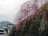 大和清九朗会館横の桜