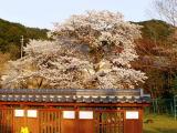 児童公園の桜